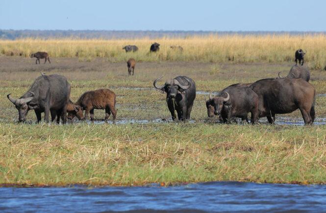 Wasserbüffel -eine besondere Delikatesse